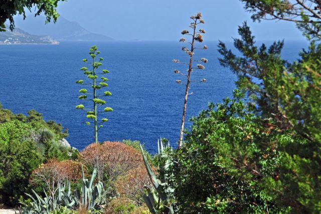 Květy agave