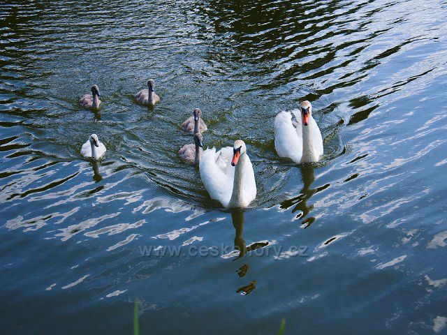 Labutí rodina na Zámeckém rybníce v Lipové.