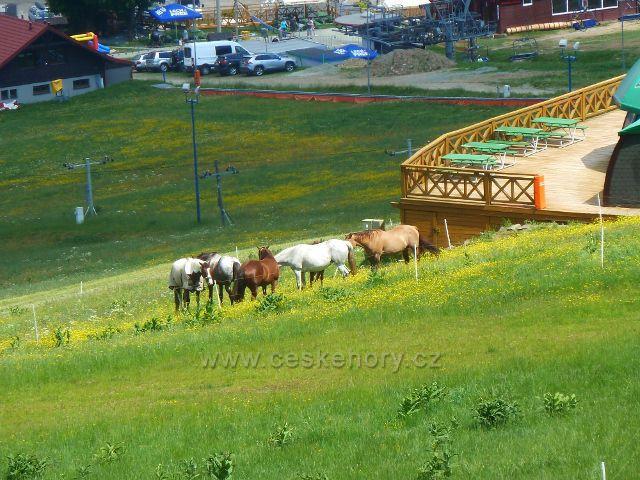 Polské sjezdovky v Zielenci částečně spásají koně