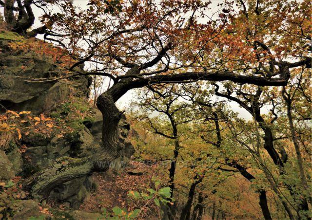 Pokroucené duby na vrcholu Bořně