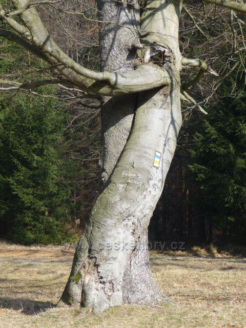 Jetřichovice - tančící strom v detailu
