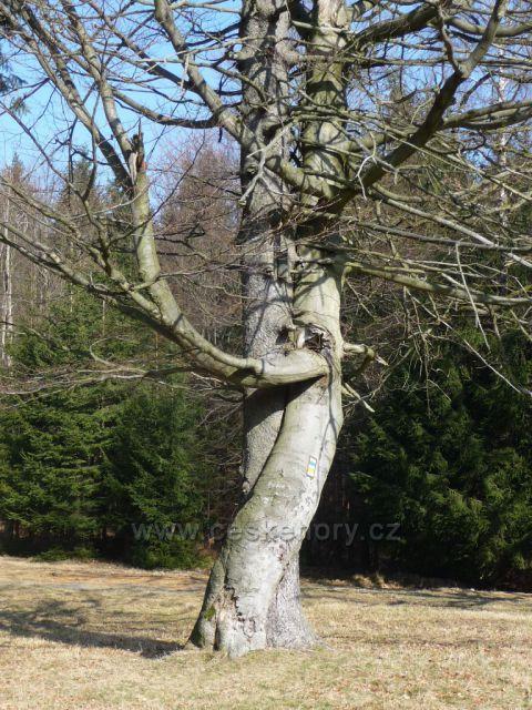 Jetřichovice - tančící strom
