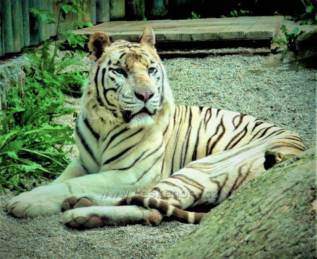 Bílý tygr - ZOO Liberec