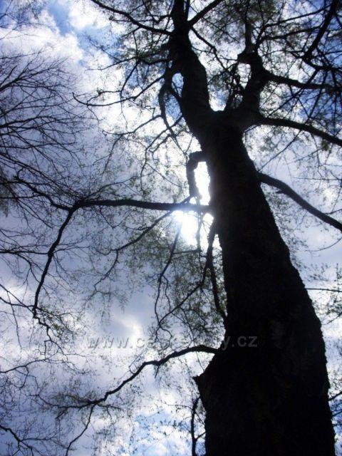 strom na Branné