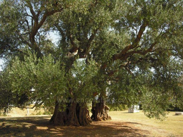 olivovník starý 1500 let v Kašteli Štafilič